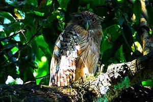 Brown Fish Owl by DebasishPhotos