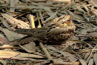 Large-tailed Nightjar by DebasishPhotos