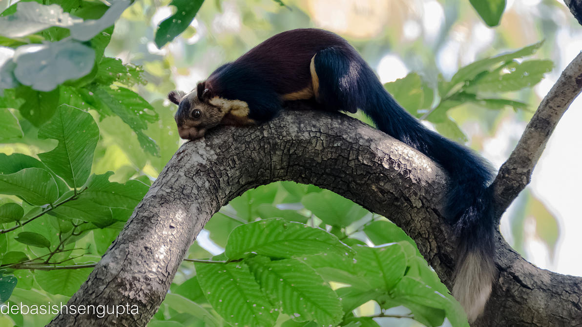 Indian Giant squirrel by DebasishPhotos on DeviantArt