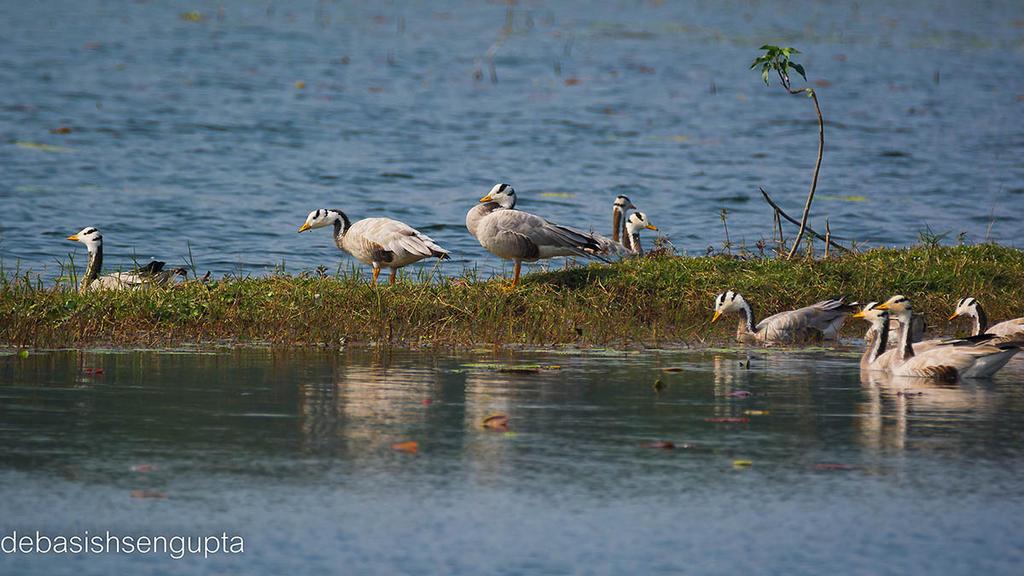 Bar-headed Goose by DebasishPhotos