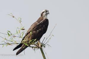 Osprey. by DebasishPhotos
