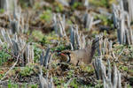 The mother, would be (Oriental Pratincole)