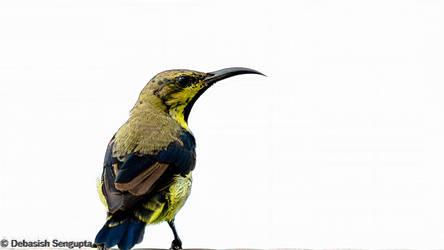 Purple Sunbird (Eclipse plumage) by DebasishPhotos