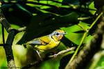 Black-eared Shrike-babbler