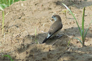 Indian silverbill (Euodice malabarica) by DebasishPhotos