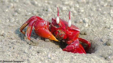 The ghost (Red Ghost Crab)