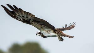 Osprey by DebasishPhotos