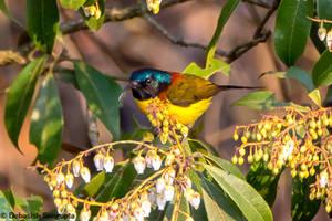 Green-tailed Sunbird by DebasishPhotos