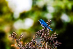 Himalayan Blue-tail by DebasishPhotos