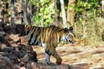Tiger. by DebasishPhotos