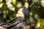 Common Hawk Cuckoo by DebasishPhotos