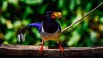 Red-billed Blue Magpie by DebasishPhotos