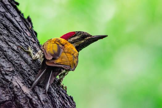 Lesser Flameback Woodpecker
