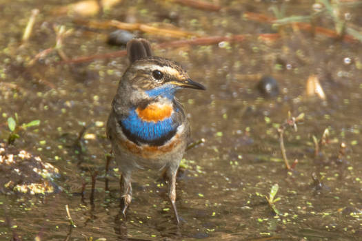 Bluethroat -male (s.sp-abbotti)
