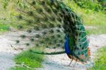 Indian Peafowl ( in full display)