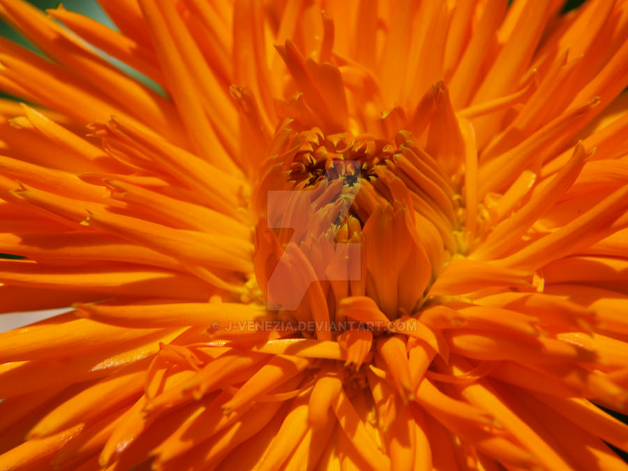 Orange Flower by J-Venezia