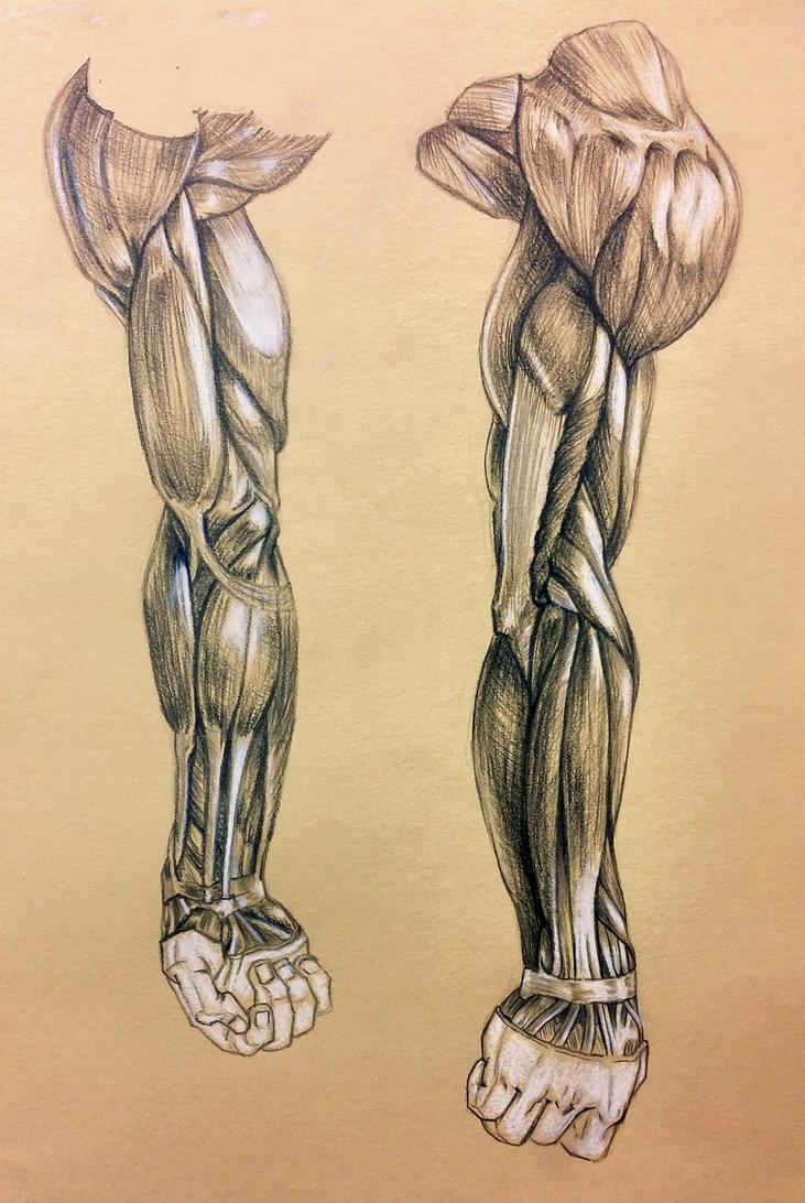 Arm Anatomy Study by kirakam on DeviantArt