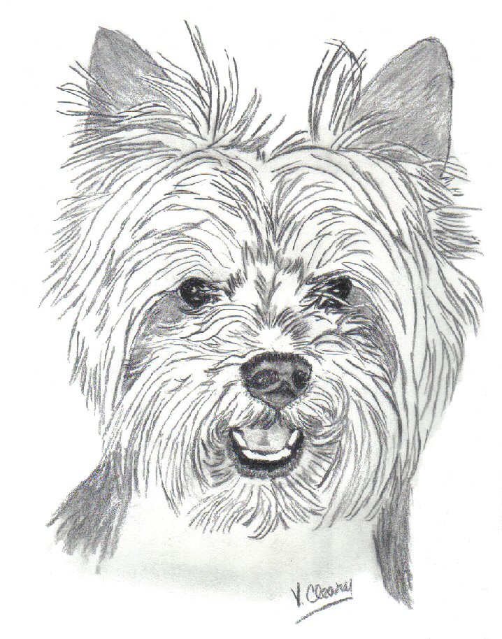 Line Drawing Yorkie : Yorkie in puppy trim by gingerc