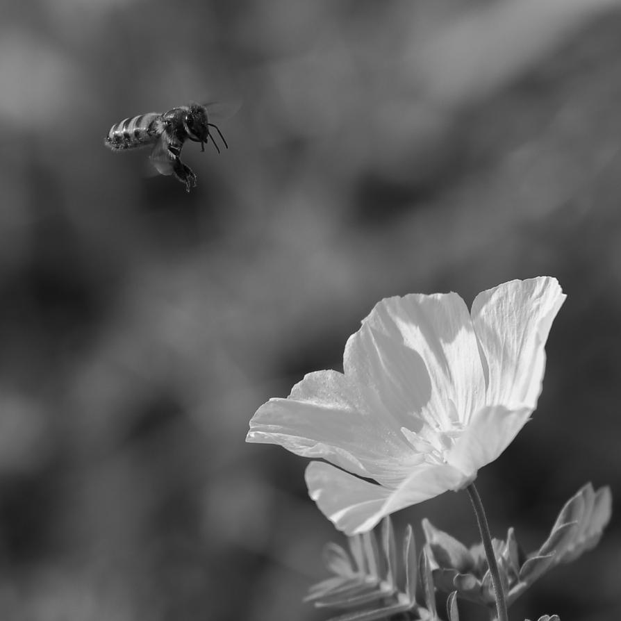 Honey bee and Tribulus terrestris by bugadrienne