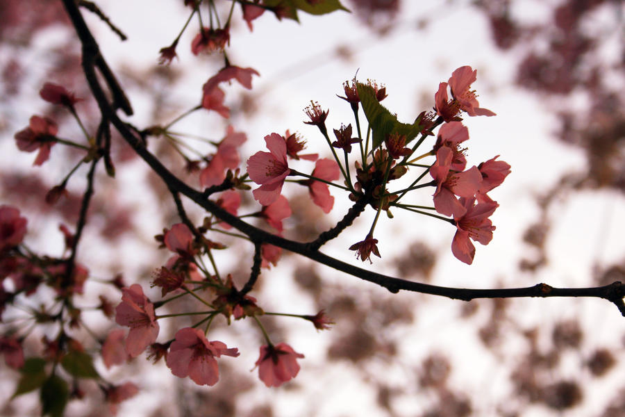 Real Cherry Blossom Branch Cherry Blossom Branch by