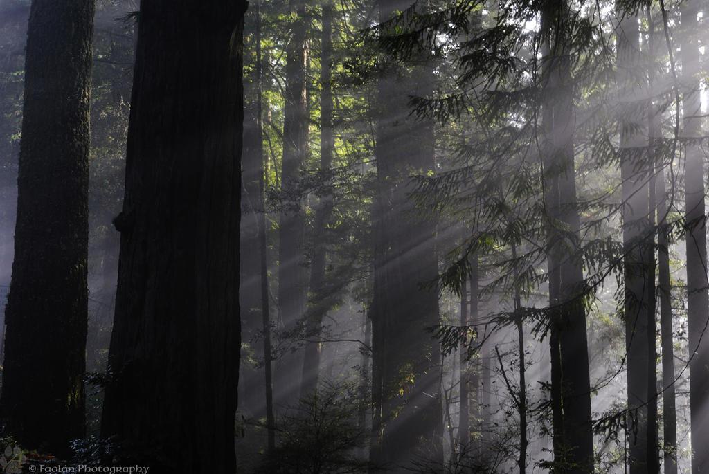 Redwood3 by Wethrildae