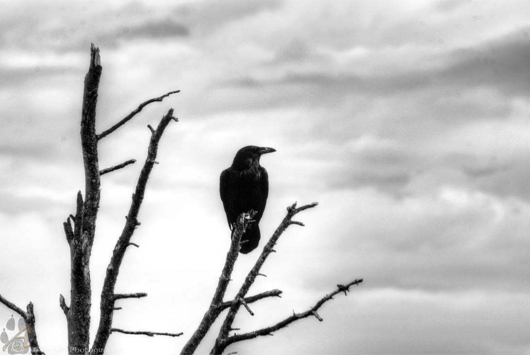 Raven by Wethrildae