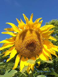 Sunflower 2018