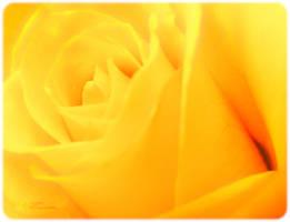 Yellow Rose II by tjsviews