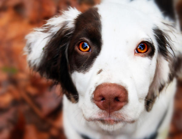 Puppy eyes by forestdeer