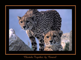 Cheetahs together by caracal