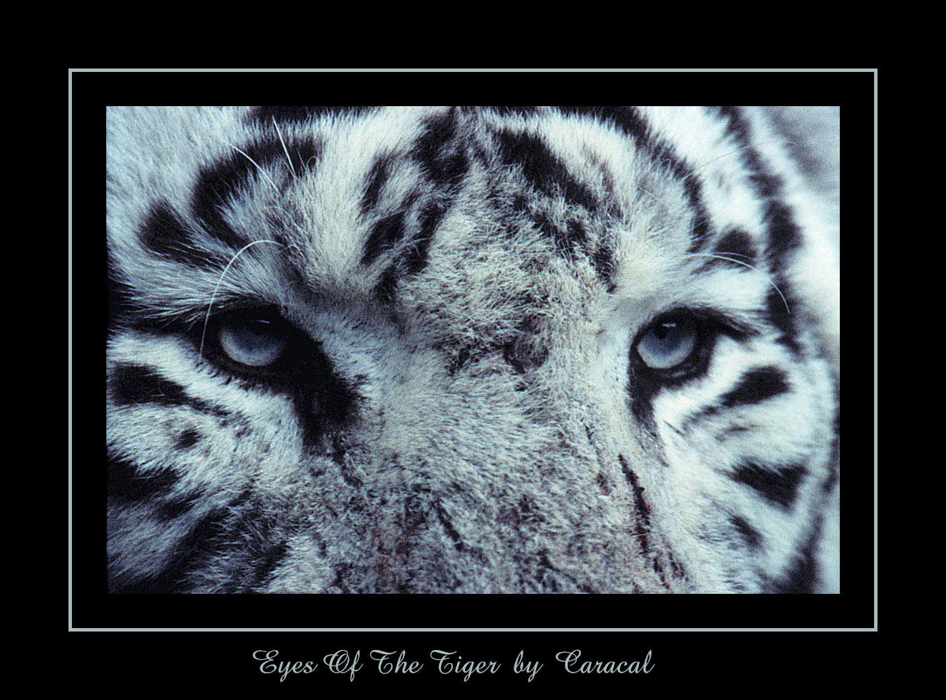 Eyes Of The Tiger by caracal