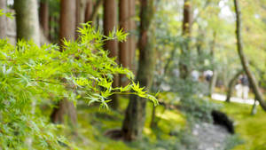 Maple in japan #1