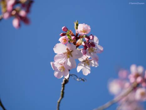 Peach blossom 4