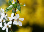 White blossom 5
