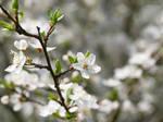 White blossom 11