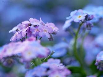 Pink and blue Forget-me-not 5