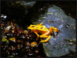Golden Panama Frog by papatheo