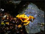 Golden Panama Frog