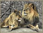 Lions in Winter