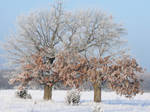Frosty Oaks