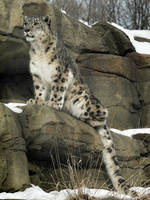 Focused Snow Leopard by papatheo