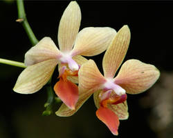Pair of Orchids by papatheo