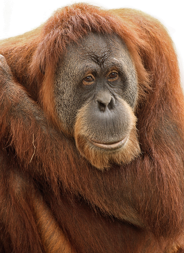 Orangutan Portrait by papatheo