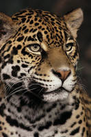 Jaguar Portrait by papatheo