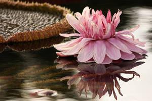 Amazonian Waterlilies by papatheo