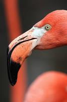 Flamingo Portrait by papatheo