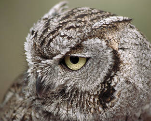 Western Screech Owl by papatheo