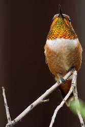 Rufous Hummingbird by papatheo