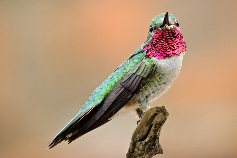 Hummingbird Flasher by papatheo