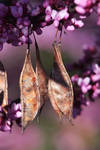 Blossoms and Seedpods by papatheo